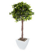 View large Artificial 5ft Exotica Weeping Fig Tree - Artificial Silk Plant and Tree Range UK